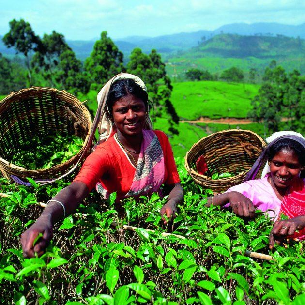 Tea Plukers 000909 630x630 - Serendipity - Bezauberndes Sri Lanka